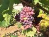 El 30 de abril finaliza el plazo para asegurar la uva de vino frente al riesgo de pedrisco